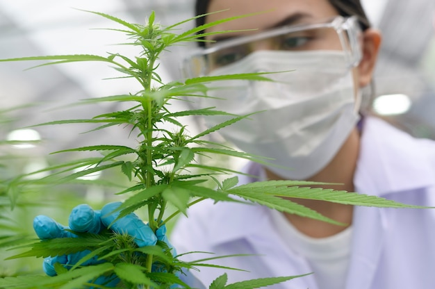 Close up of scientist with gloves and glasses examining cannabis sativa hemp plant
