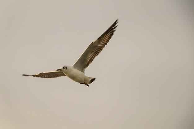 Закройте вверх по чайке, летящей в воздухе и на фоне неба. чайка свободы расширяет крылья в небе.
