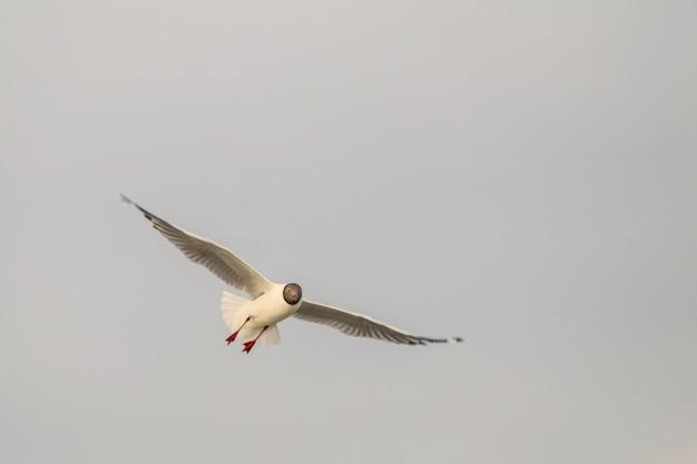 Закройте чайку, летящую в воздухе и фоне неба