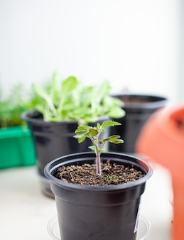 Close-up of seedlings of green small thin leaves of a tomato plant in a container growing indoors in the soil in spring. seedlings on the windowsill