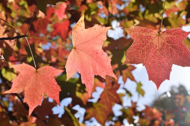 Close up selective focuse maple leaf season fall autumn  back to school copyspace