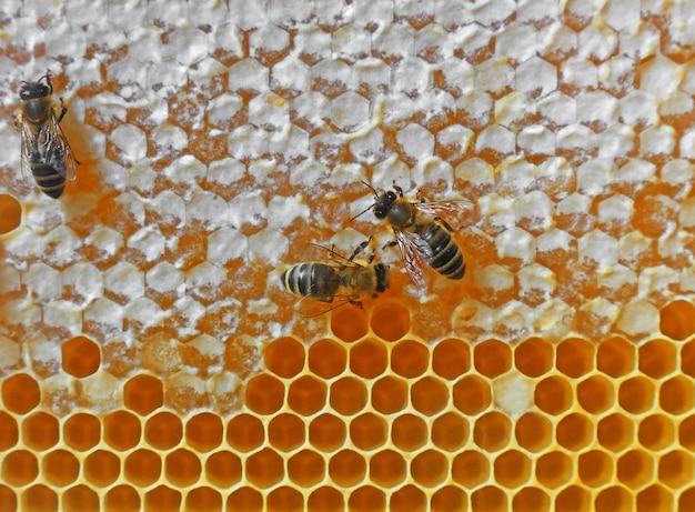 Close up several worker honeybees on fresh golden comb honey background, full frame honeycomb pattern