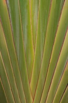 旅行者の手のひらの形の葉をクローズアップ、旅行者の手のひらのパターンを残します。
