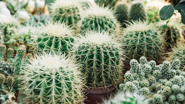 Close-up of a sharp thorny cactus plants