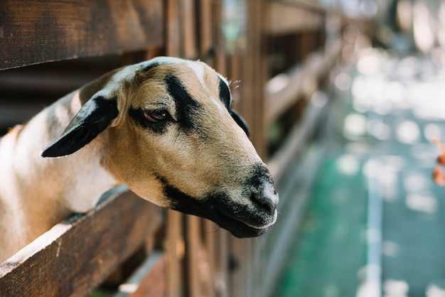 Close-up of a sheep's head peeking out from wooden fence