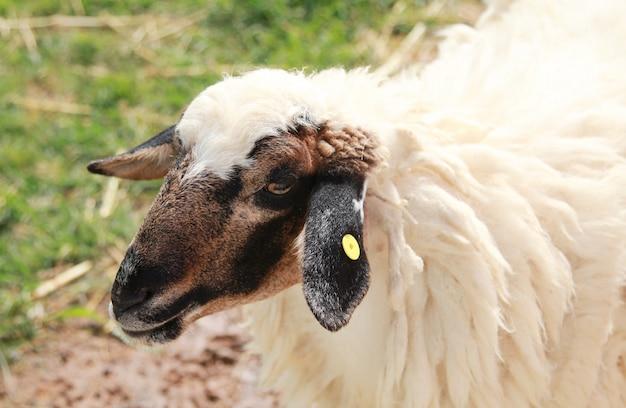 Close up sheep.