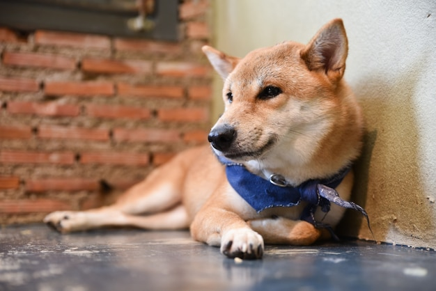 Close up of shiba inu dog lying on the floor with brick wall background.