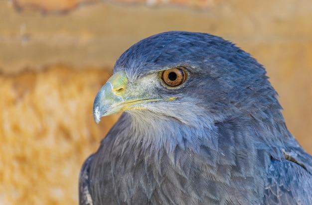 Close-up of shield eagle (geranoaetus melanoleucus) adult.