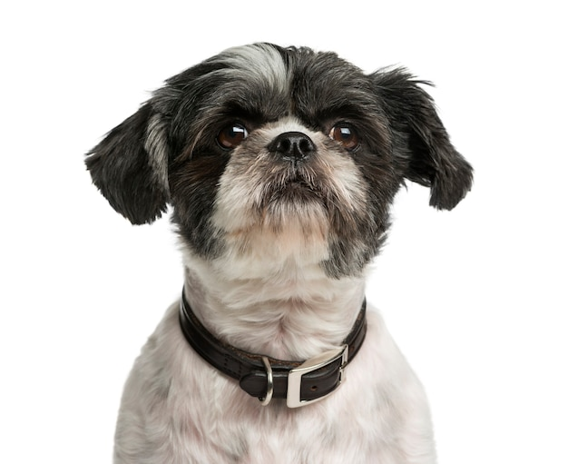 Close-up of a shih tzu in front of a white wall