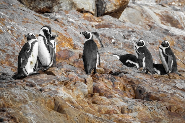 Close up shot of african penguins in a stony area in south africa