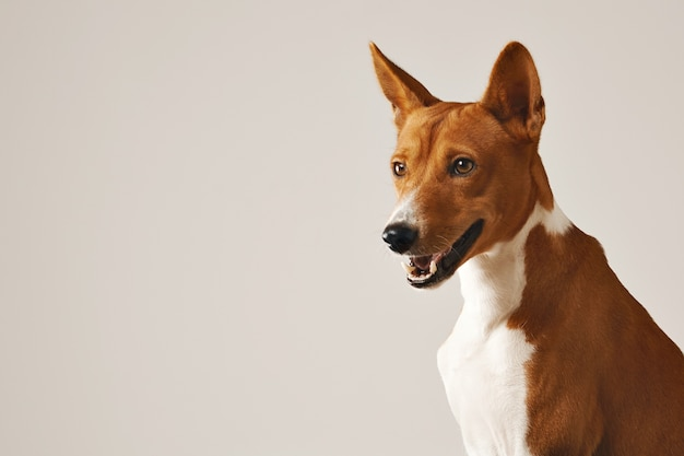 Close up shot of an alert friendly brown and white basenji dog
