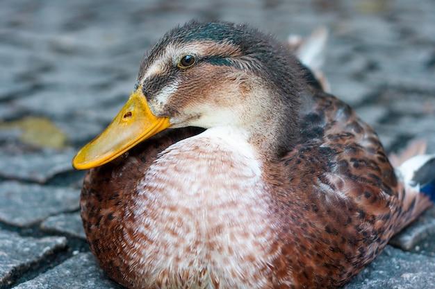 Close up shot of a beautiful mallard in a lake