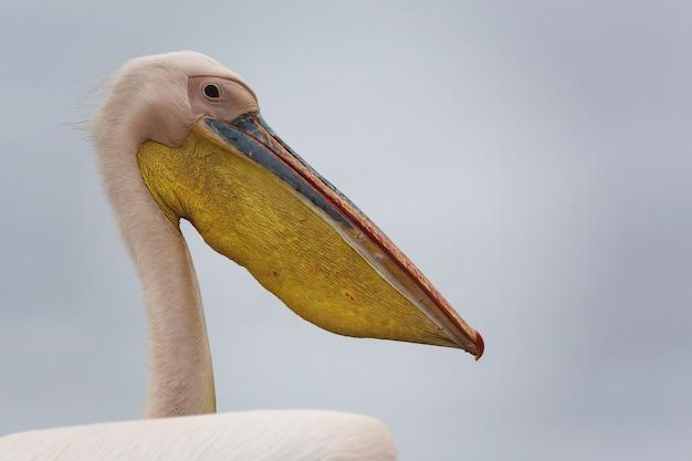 Immagine ravvicinata di un bellissimo uccello spoonbill bianco con uno sfondo grigio