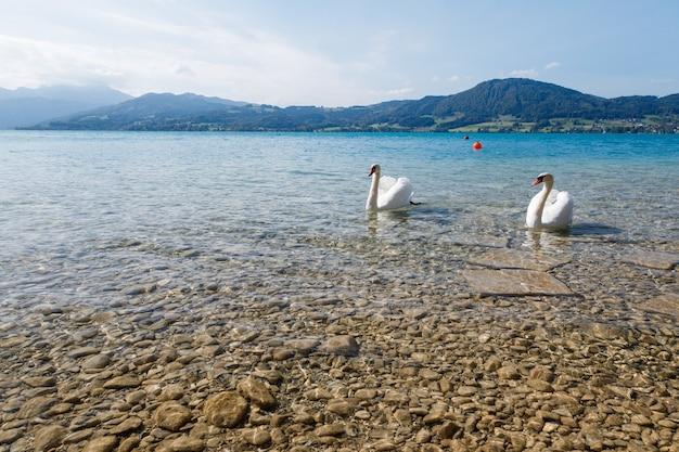 Immagine ravvicinata di bellissimi cigni bianchi in un lago in una giornata di sole