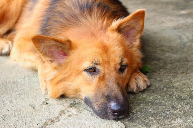 The close up shot of bored dog laying alone