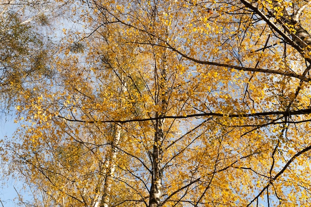 A close-up shot of the branches and orange birch leaves in autumn.