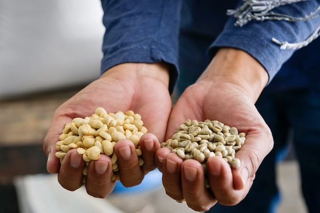 Close-up shot of coffee beans arabica species, which have gone through the process of cracking
