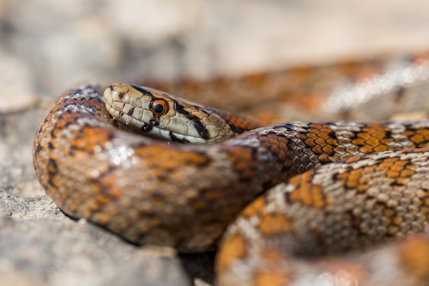 Close up shot of a curled up adult leopard snake