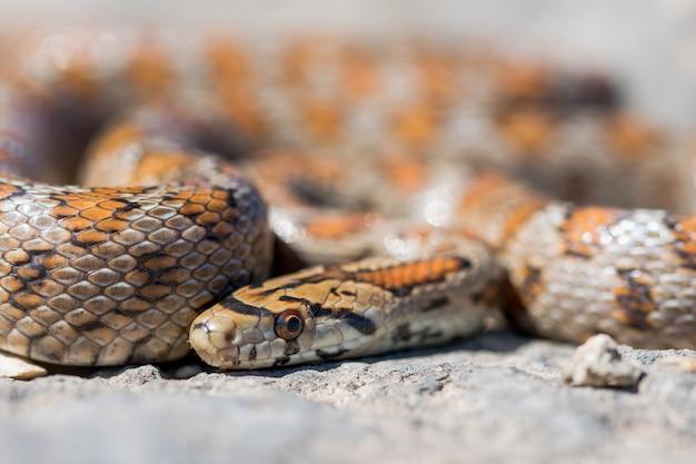 Immagine ravvicinata di un serpente leopardo adulto rannicchiato