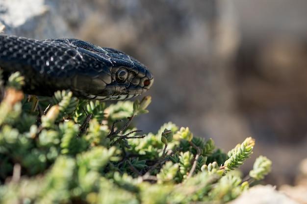 Immagine ravvicinata del volto di un adulto nero western whip snake, hierophis viridiflavus, a malta