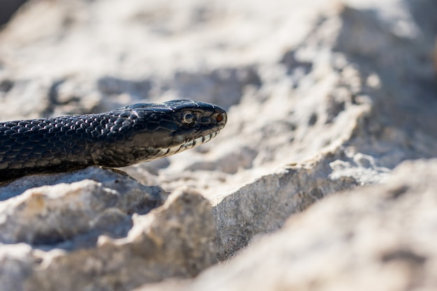 Close up shot of the face of an adult black western whip snake, hierophis viridiflavus, in malta