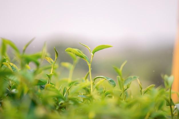 A close-up shot of fresh green tea leaves at choui fong tea plantation in chiang rai, thailand.