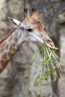 Close up shot of giraffe eating