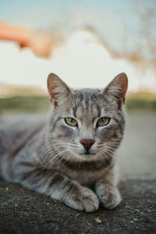 Close-up shot of a gray cat