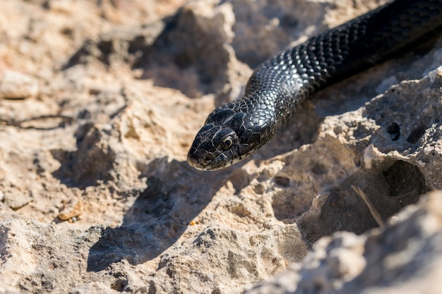 Close up shot of the head of an adult black western whip snake, hierophis viridiflavus, in malta