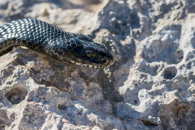 Immagine ravvicinata della testa di un serpente frusta occidentale nero adulto