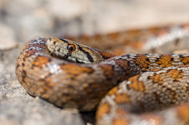 Immagine ravvicinata della testa di un adulto leopard snake o europeo ratsnake, zamenis situla, in malta