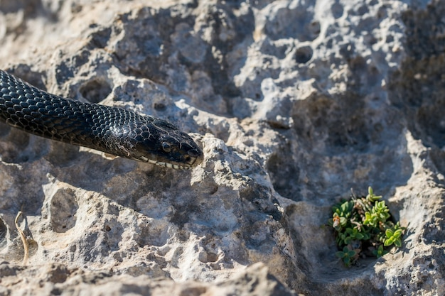 Immagine ravvicinata della testa di un serpente frusta occidentale adulto