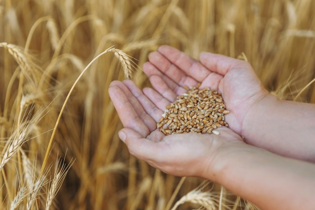 Close up shot of kids hands holding golden colored wheat grains on background of field