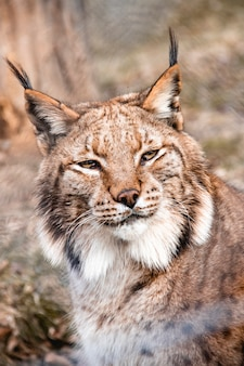 Close up shot of a linx cat