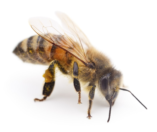 Крупным планом выстрел пчелы, изолированные на белом фоне