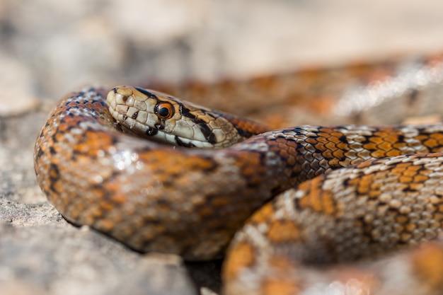 Крупным планом свернувшись калачиком взрослой змеи леопарда