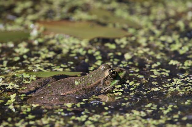 습지 개구리(pelophylax ridibundus)의 클로즈업 샷