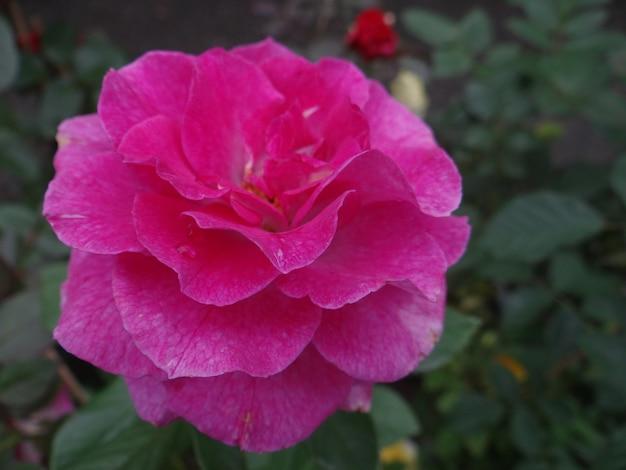 庭で育つピンクのカナダのバラのクローズアップショット