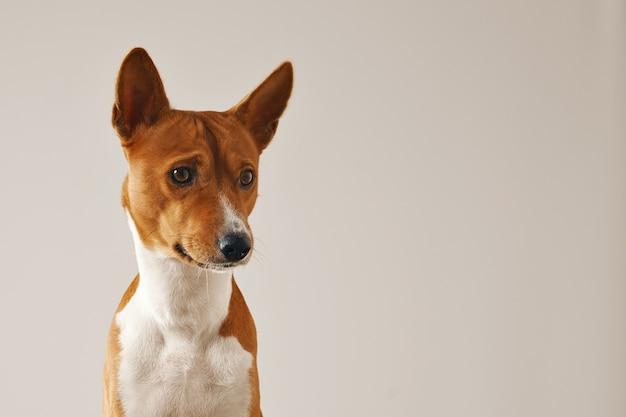 白で隔離の思慮深い焦点を絞ったバセンジー犬のクローズアップショット