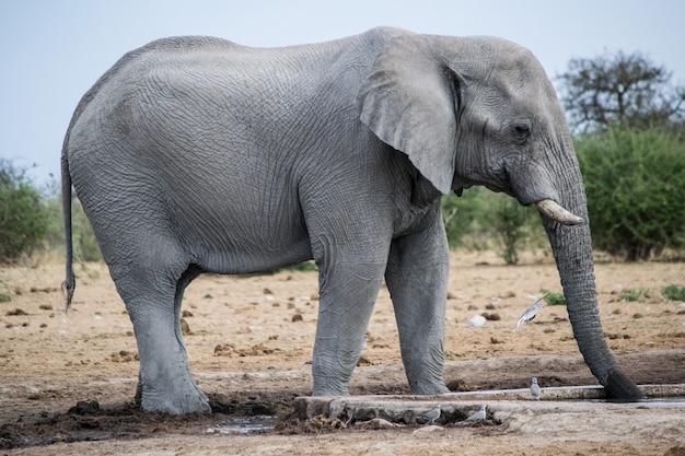 Снимок слона в саванне крупным планом