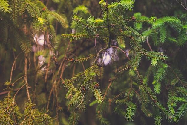 원뿔이 자라는 아름다운 녹색 가문비나무 가지의 클로즈업 샷