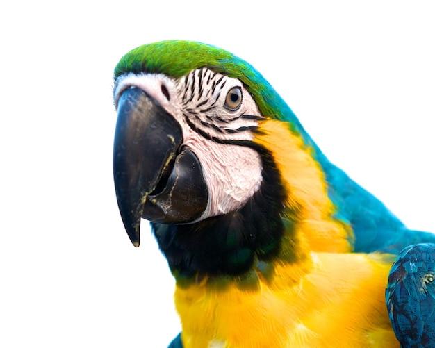 Крупным планом выстрел из голубой и золотой ара изолированы, фокус на глаз