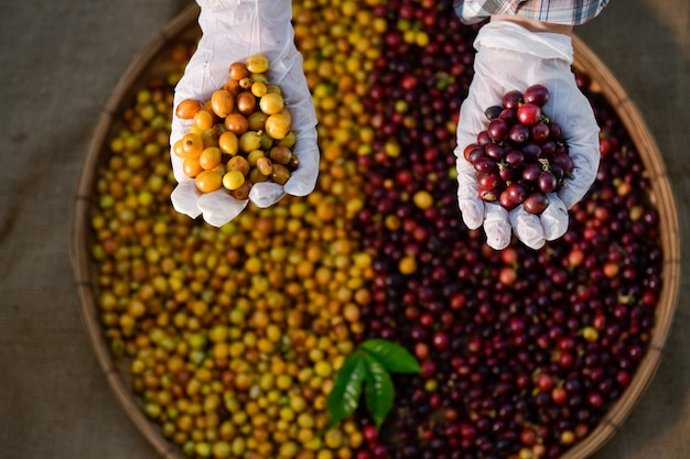 Крупный план вариантов кофе в зернах арабики, которые подготовлены к испытанию в процессе растрескивания.