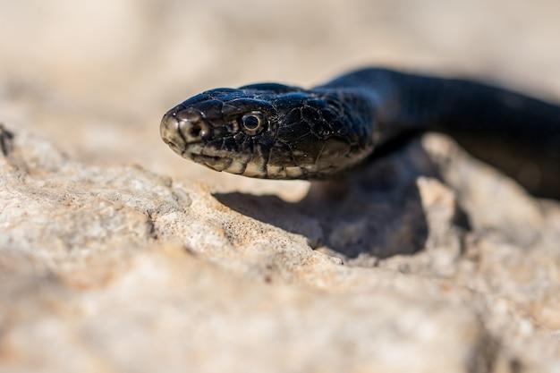 몰타에서 성인 black western whip snake, hierophis viridiflavus의 얼굴 클로즈업