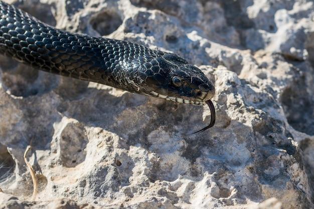 몰타에서 성인 블랙 웨스턴 채찍 뱀, hierophis viridiflavus의 머리 샷을 닫습니다.