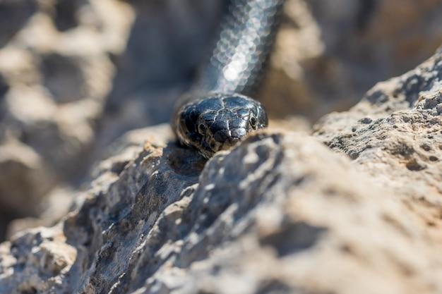 몰타에서 성인 black western whip snake, hierophis viridiflavus의 머리의 클로즈업 샷