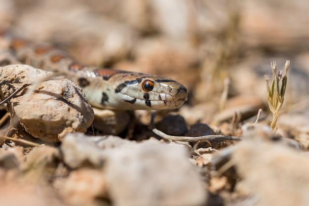 Крупным планом - голова взрослой леопардовой змеи или европейской крысиной змеи, zamenis situla, мальта