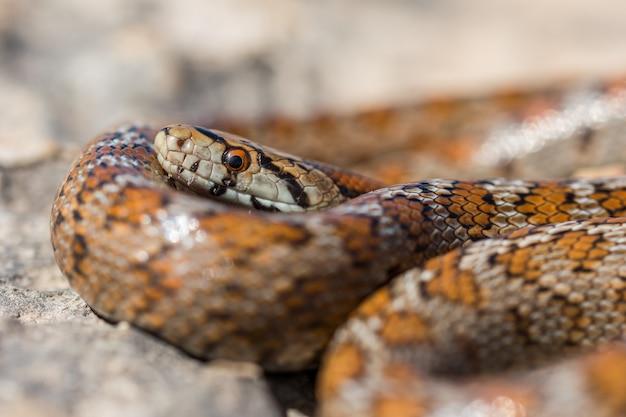 몰타의 성인 표범 뱀 또는 유럽 쥐뱀, zamenis situla의 머리를 클로즈업