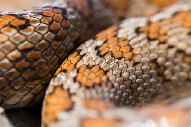 몰타에 있는 성인 표범 뱀 또는 유럽 쥐뱀, zamenis situla의 비늘을 클로즈업