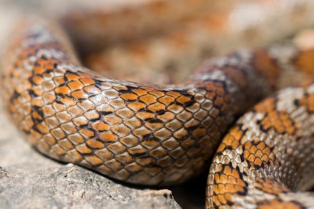 マルタの成体のヒョウモンナヘビまたはヒョウモンナチョウ、zamenissitulaの鱗のクローズアップショット